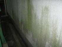 外壁の苔1